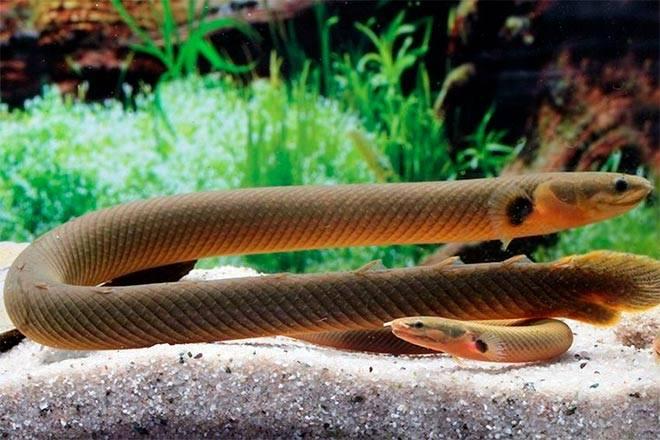 Размножение рыбки змеи