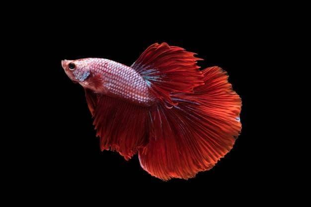 Рыбка петушок в аквариуме