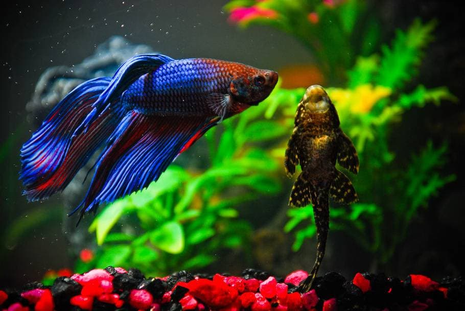 Рыбка петушок и сомик