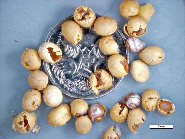 Яйца ахатины