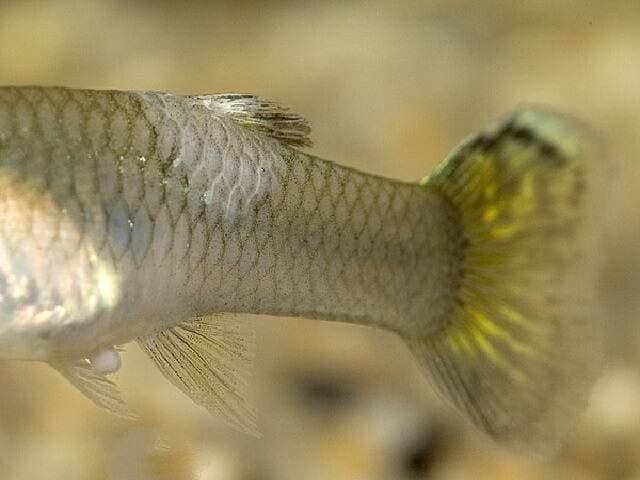 Белокожие у рыб