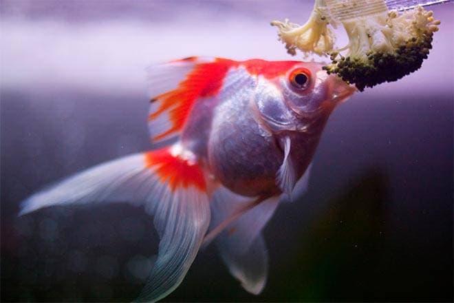 Кормление золотой рыбки