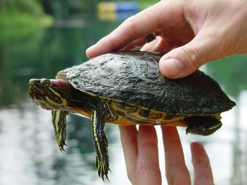 Размер красноухой черепахи