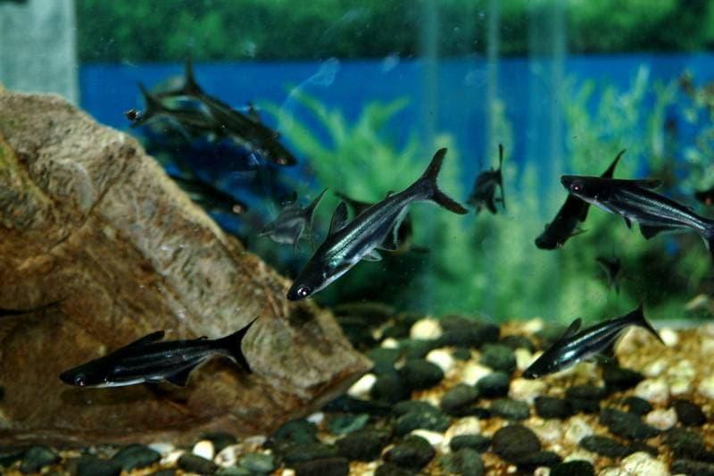 Акульи сомы в аквариуме