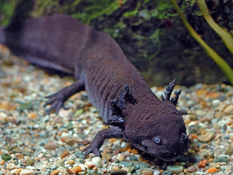 Чёрный водный дракон