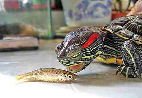 Черепаха красноухая ест рыбу