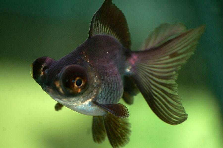Рыбка телескоп