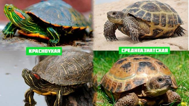 красноухая и среднеазиатская черепахи
