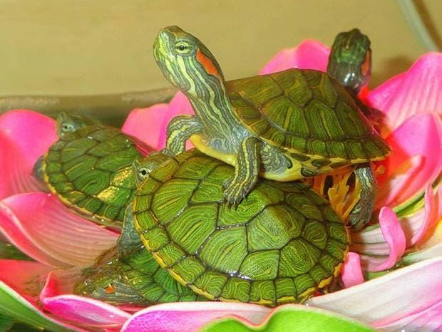 малыши красноухой черепахи