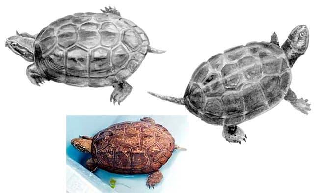 черепаха Прудовая Ривза
