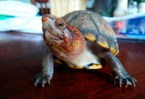 иловая красноватая черепаха
