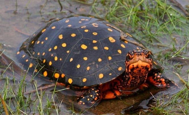 пятниская черепаха