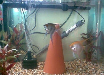 аквариум для размножения скалярий
