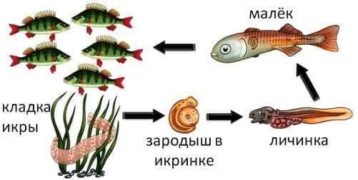 Развитие рыб из икры