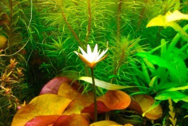 цветение нимфеи