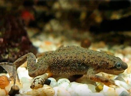 карликовая лягушка
