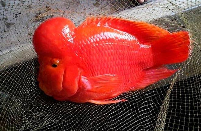 кинг-конг рыбка попугай
