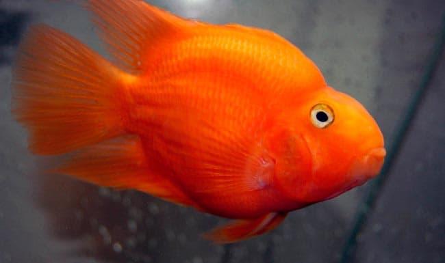 красная рыба попугай
