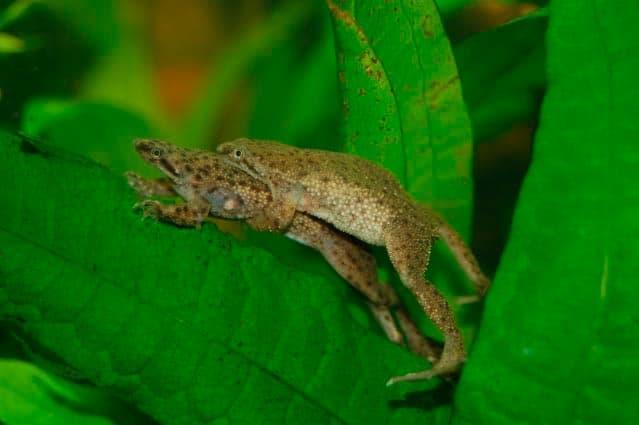 размножение лягушек
