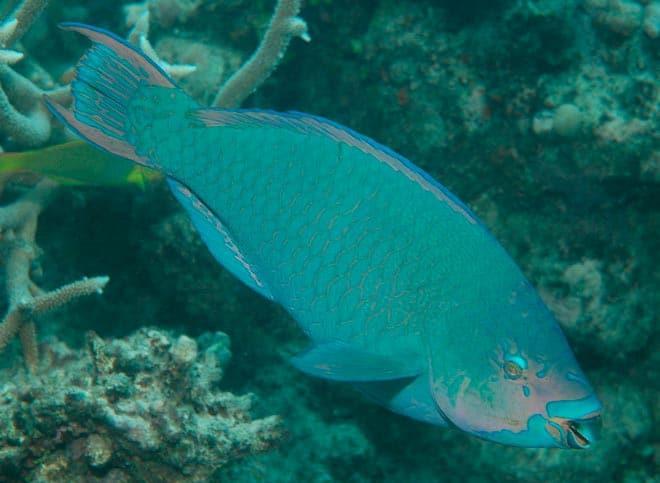 рыба попугай скар