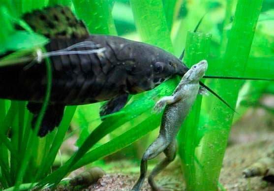 совместимость лягушек