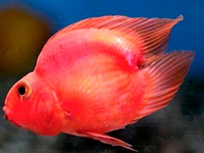 влюбленное сердце красный попугай