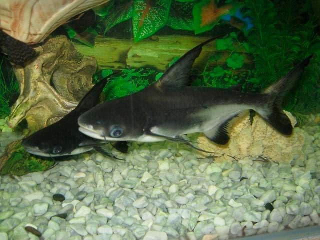 акулий сомик
