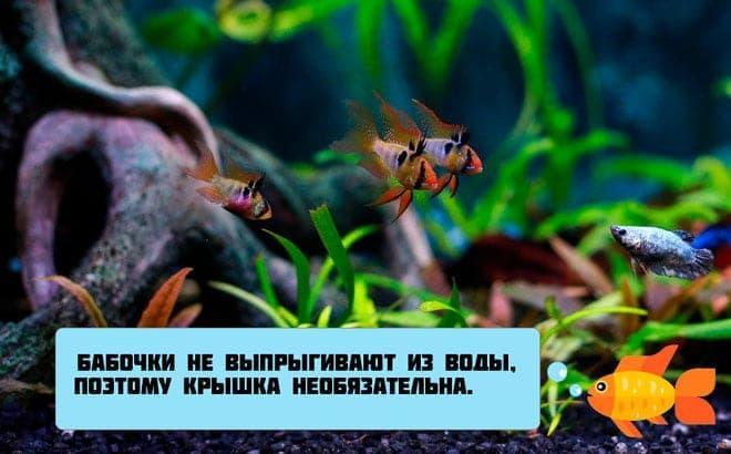апистограмма в аквариуме