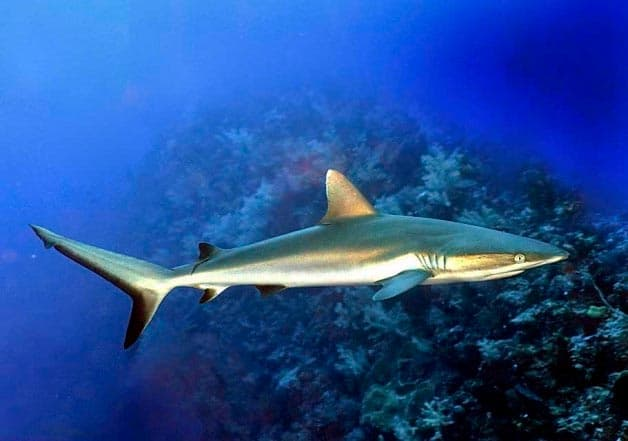 черноплавничая акула