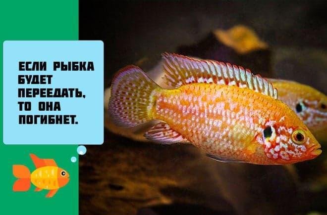 переедание рыбки