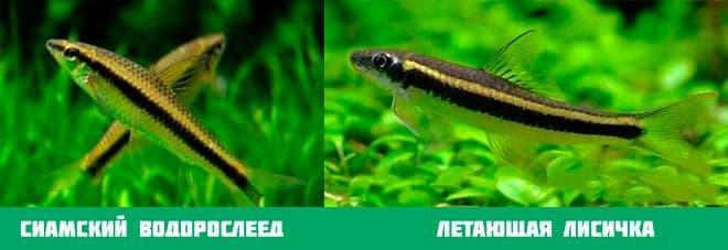 разница между лисичкой и водорослеедом
