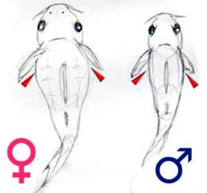отличия полов