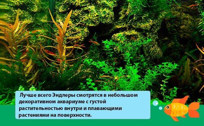 аквариум для гуппи эндлера