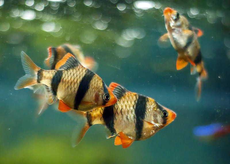 барбус в аквариуме