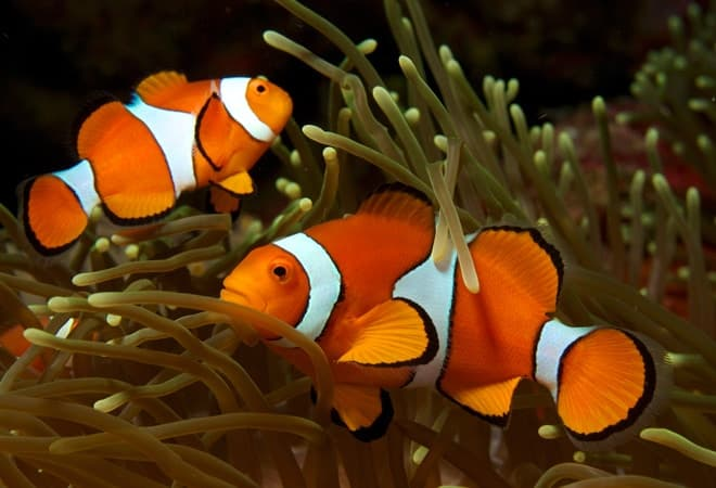 рыбки клоуны