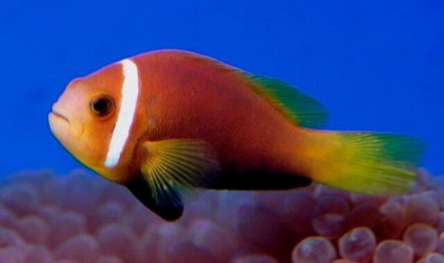 мальдивский