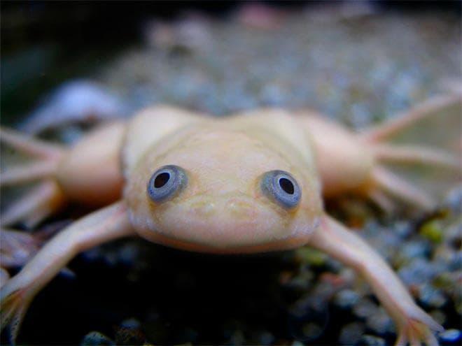 светлая шпорцевая лягушка