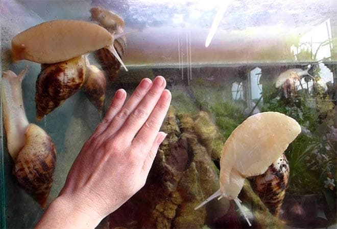 чистый аквариум для улиток