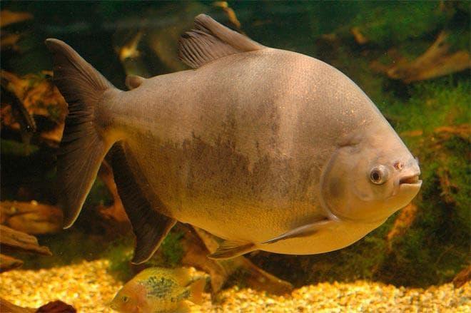 черная рыба паку