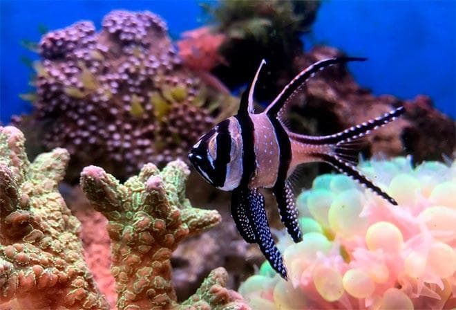 морская рыбка Апогон