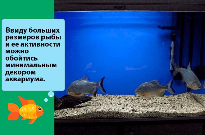 аквариум для рыбы паку