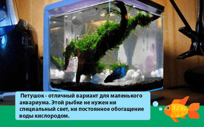 петушок в маленьком аквариуме
