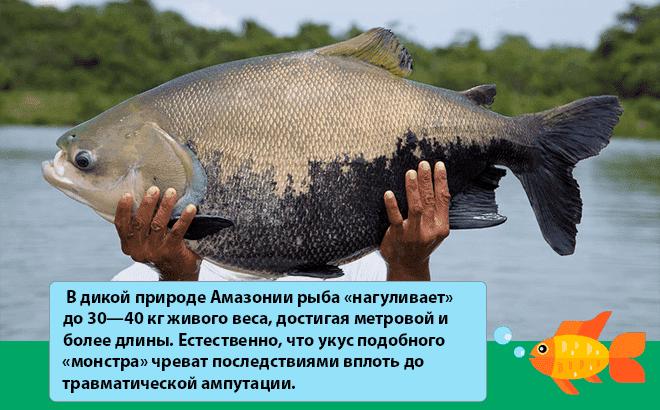 рыба паку в дикой природе