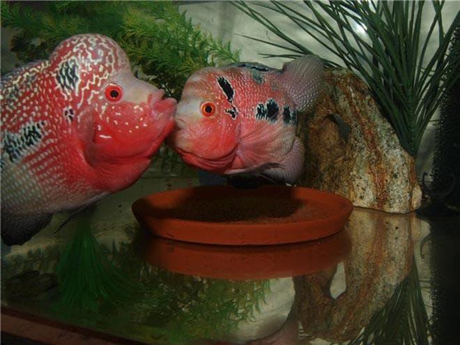 самец и самка фловер хорн