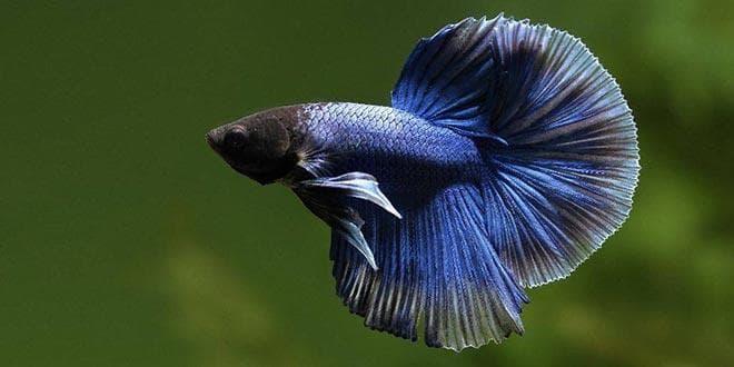 Бойцовая рыбка сиамский петушок фото