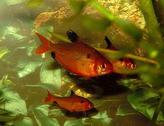 содержание в аквариуме минора