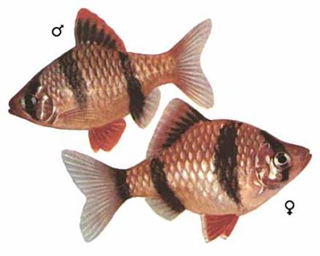 Отличия самки от самца барбуса