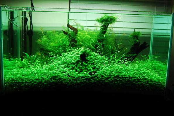 гидрокотила в аквариуме