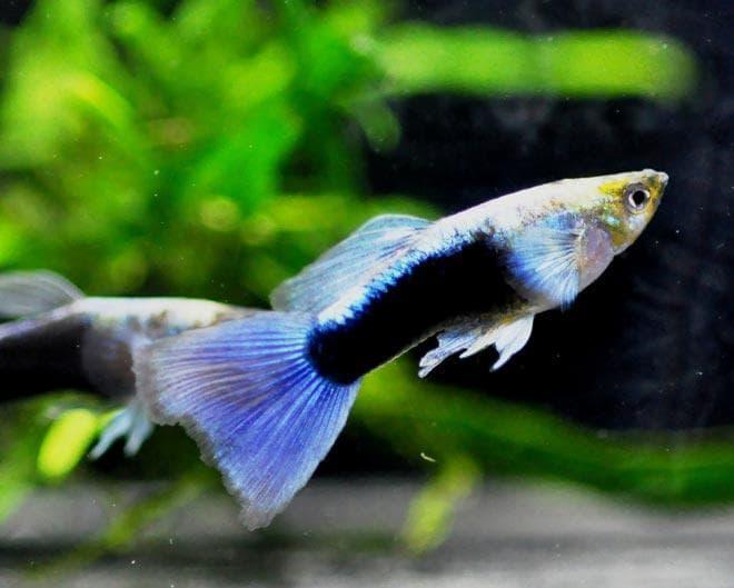 гуппи голубой металлик