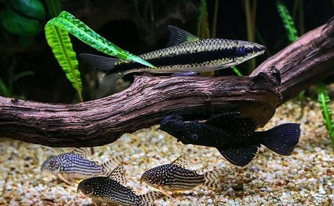 сомики Штербы с другими рыбами в аквариуме